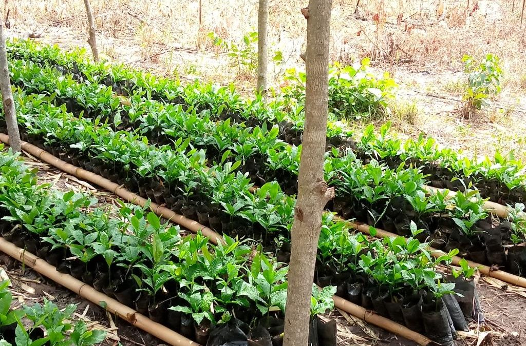 Cashew Nursery Set -up for a 600 acre Cashew Orchard